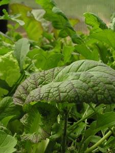 Growing organic lettuce