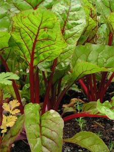 Grow organic Swiss Chard